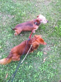 two small dogs walking
