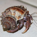 Photograph of a hermit crab provided by Jennifer Triplett