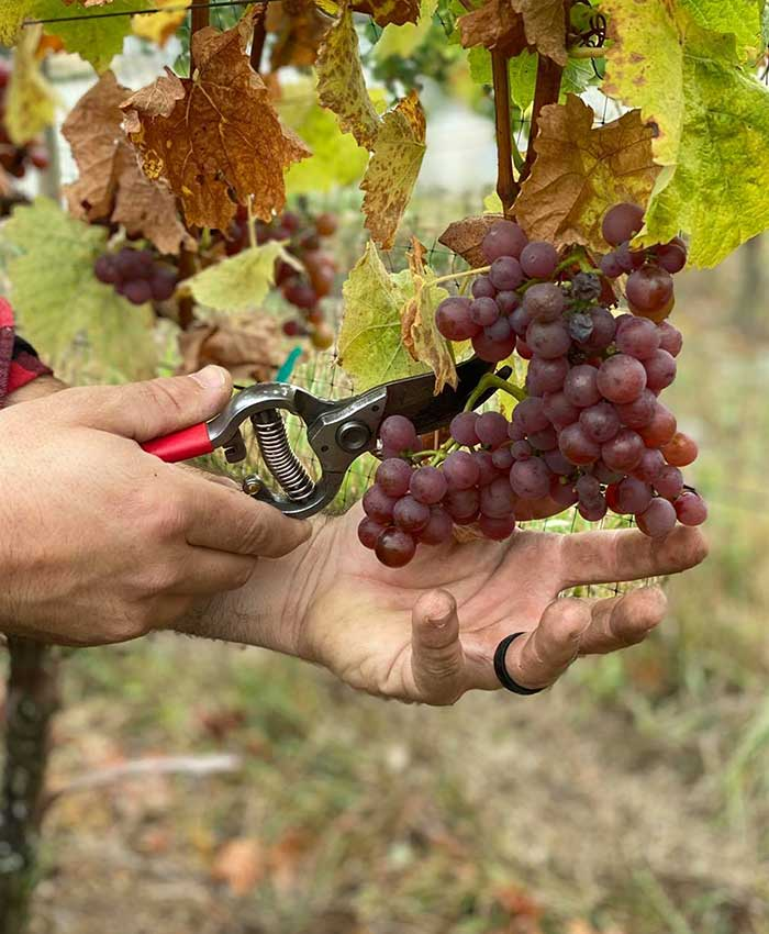 Man Cutting a Pair of Burgundy Grapes with a Scissor at Pomeroy Cellars