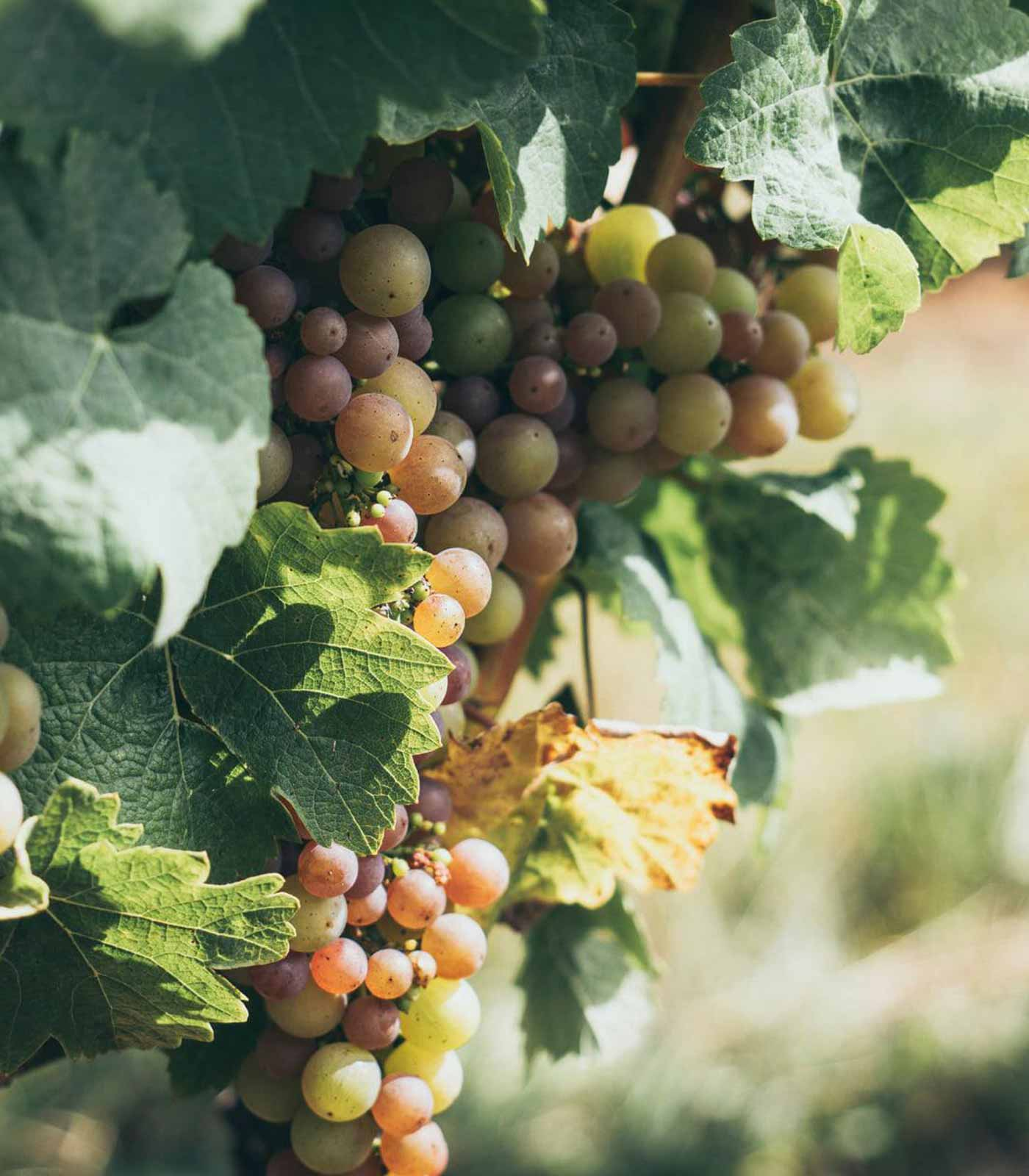 Photo of White Ripe Grapes in a Vineyard at Pomeroy Cellars