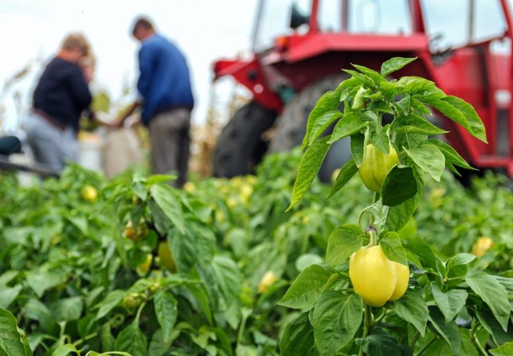 Vegetable Supplier USA
