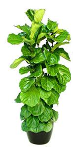 Ficus variety