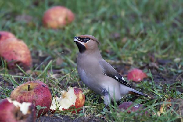 Bohemian Waxwing Bird Irruption