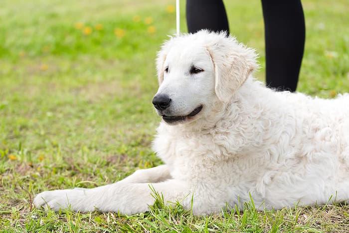 Hungarian Kuvasz Dog