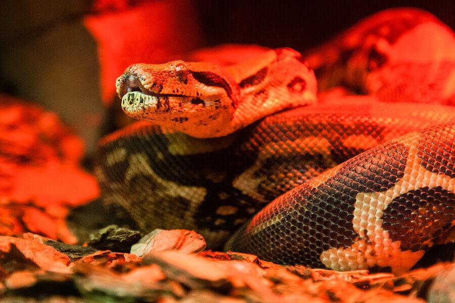 Snake Python Under Light