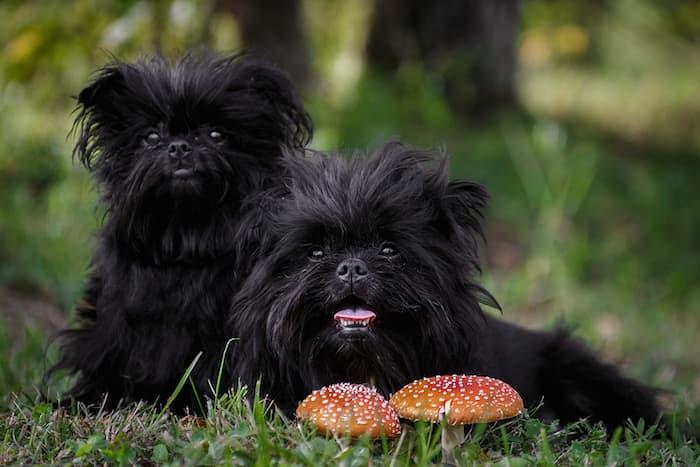 Affenpinscher Puppies