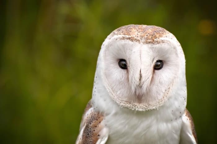 barn owll
