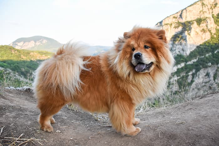 chow chow dog in nature