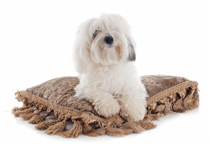 Cot De Tulear Dog