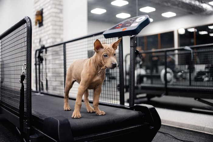 dog getting exercise on treadmill