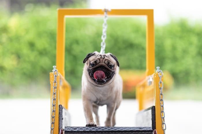 happy dog on treadmill