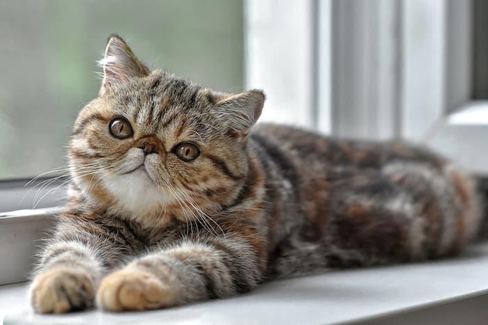 exotic shorthair kitten by window
