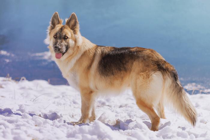 shepherd mix in snow