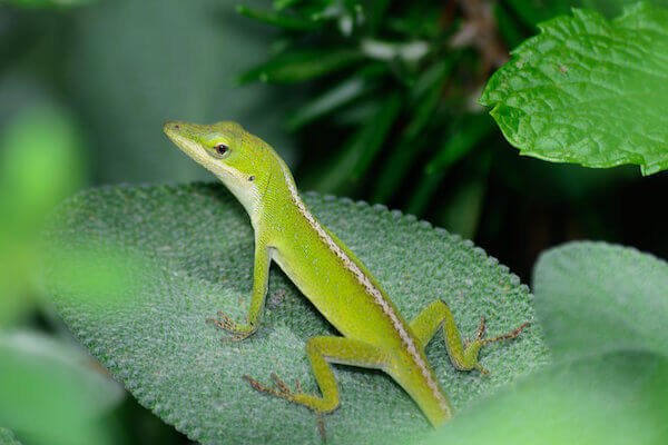 Small Green Anole