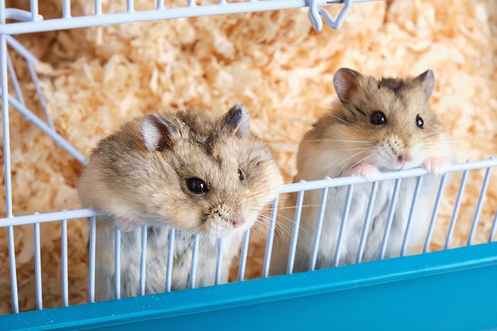 two hamster in a cage