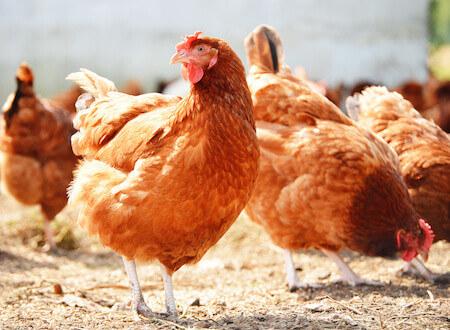 Hens on a Range