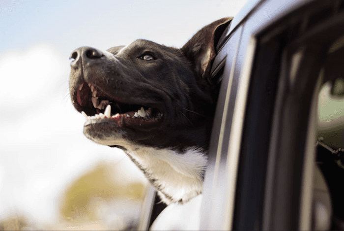 happy dog looking out car window