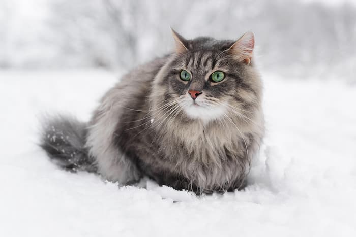 large Siberian forest cat in the snow