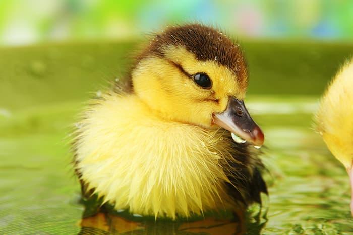 duckling in water