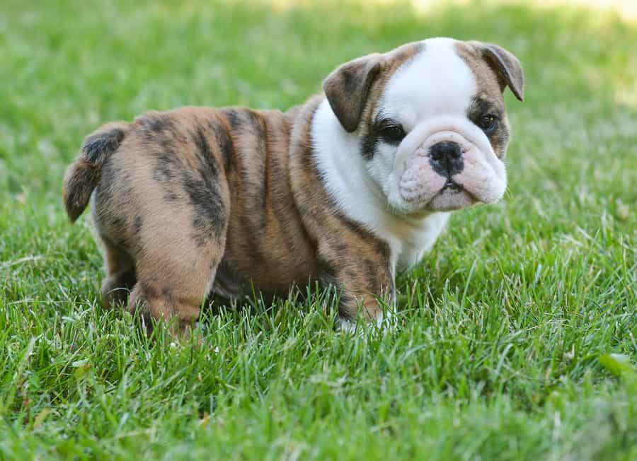 new bulldog puppy