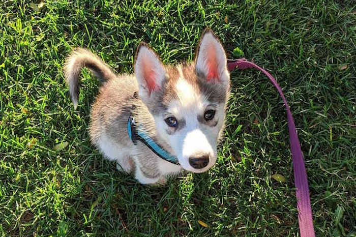 Puppy Husky Dog