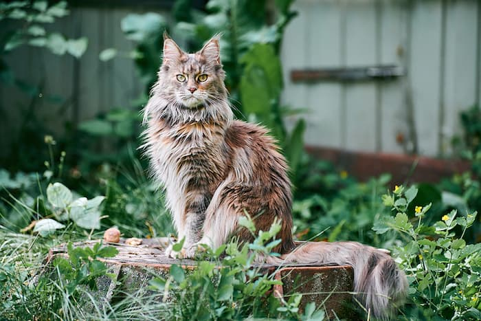 Maine coon in grass