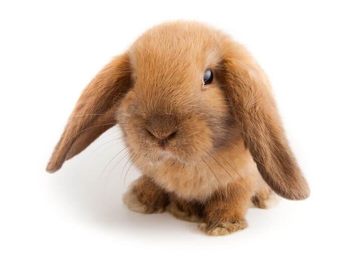 bunny rabbit lop