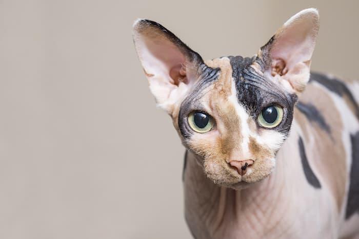 Sphynx cat close up