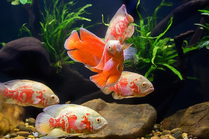 oscar fish in tank