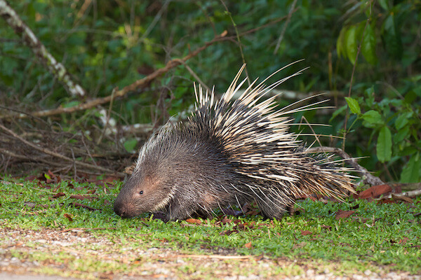 porcupines are not hedgehogs