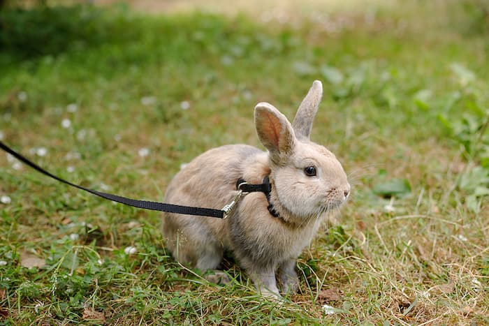 bunny rabbit on a leash in the grass