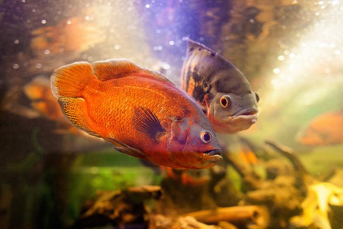 Red Oscar Fish