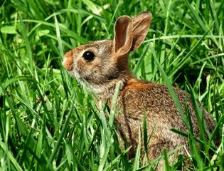 small-bunny