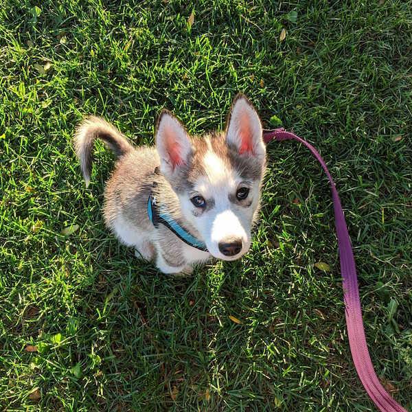 small-husky-puppy-in-grass