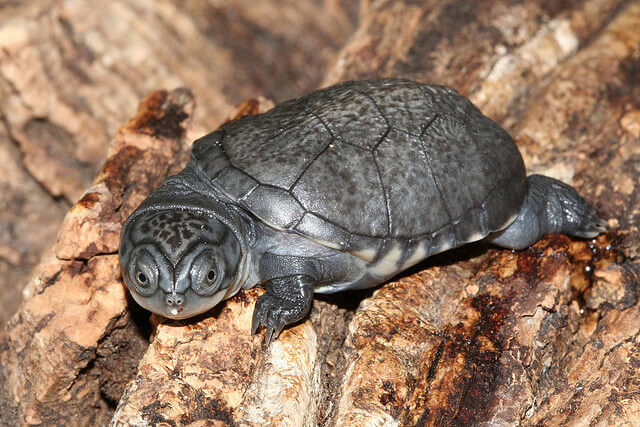 the african mud turtle