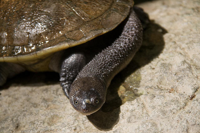 the snake necked turtle