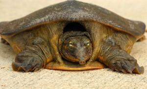 the softshell turtle