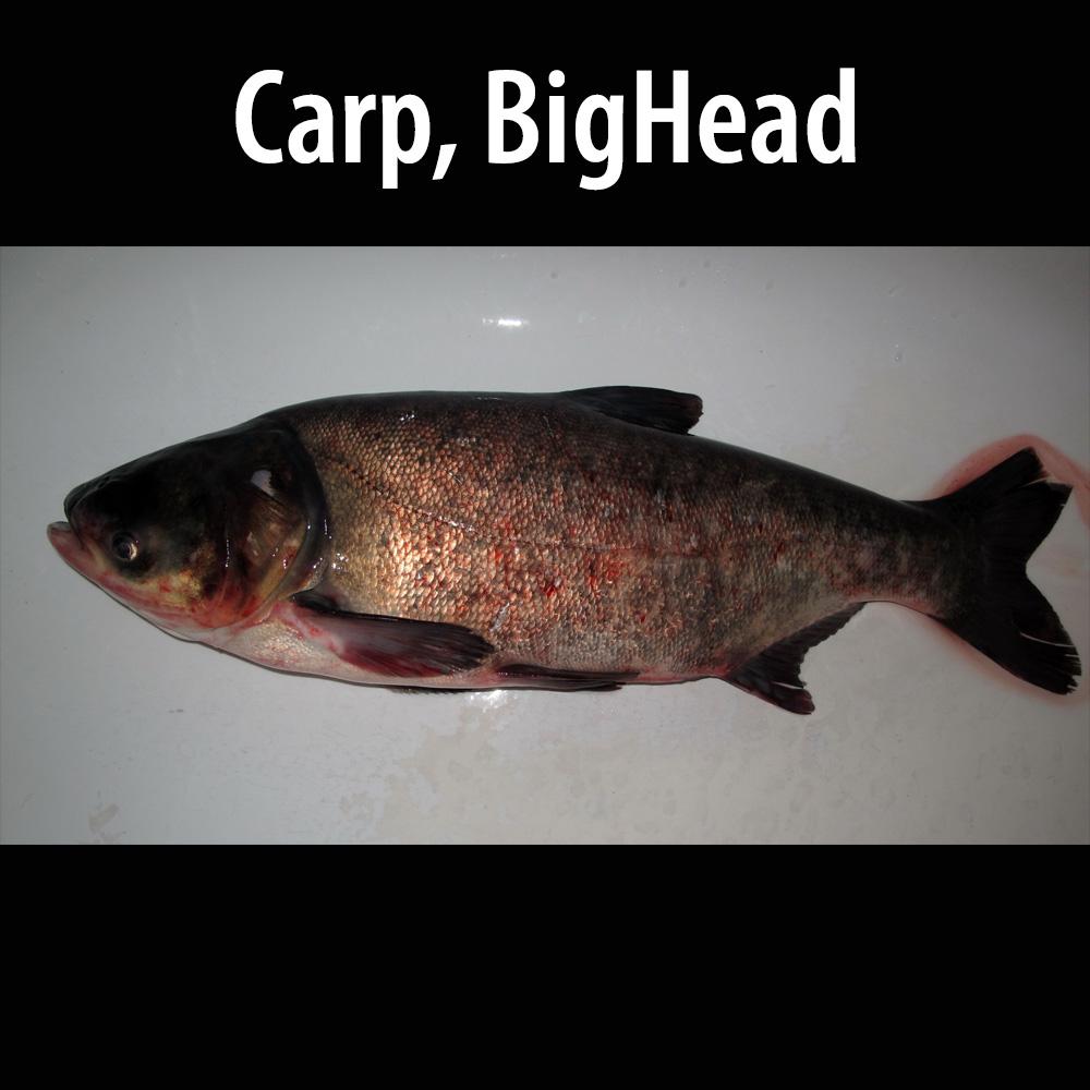 Carp BigHead