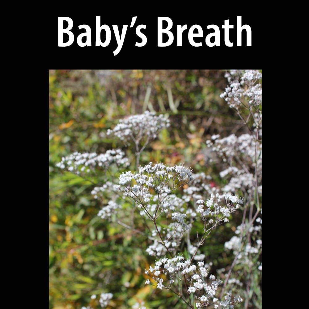 Baby's Breath, Common