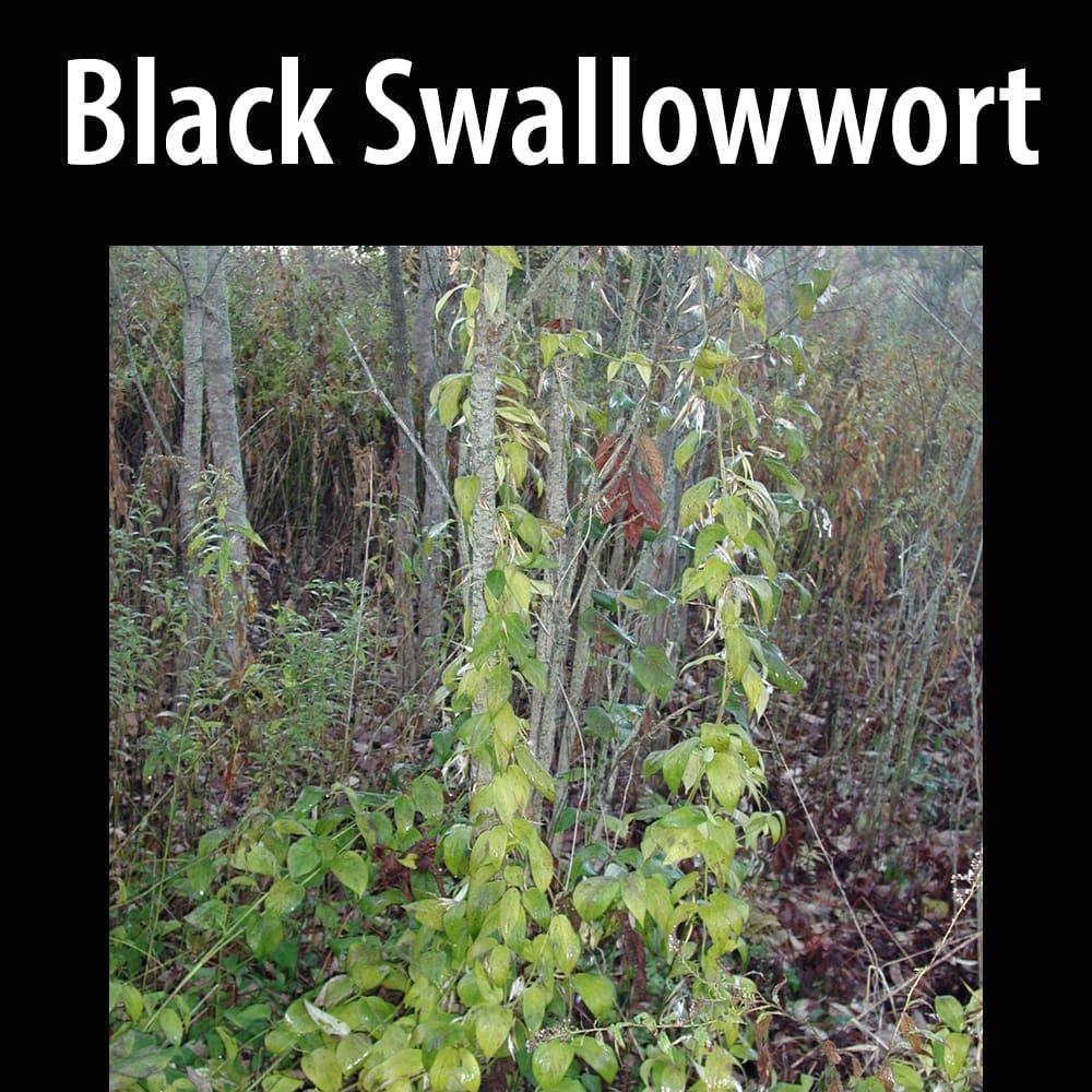 Black swallowwort