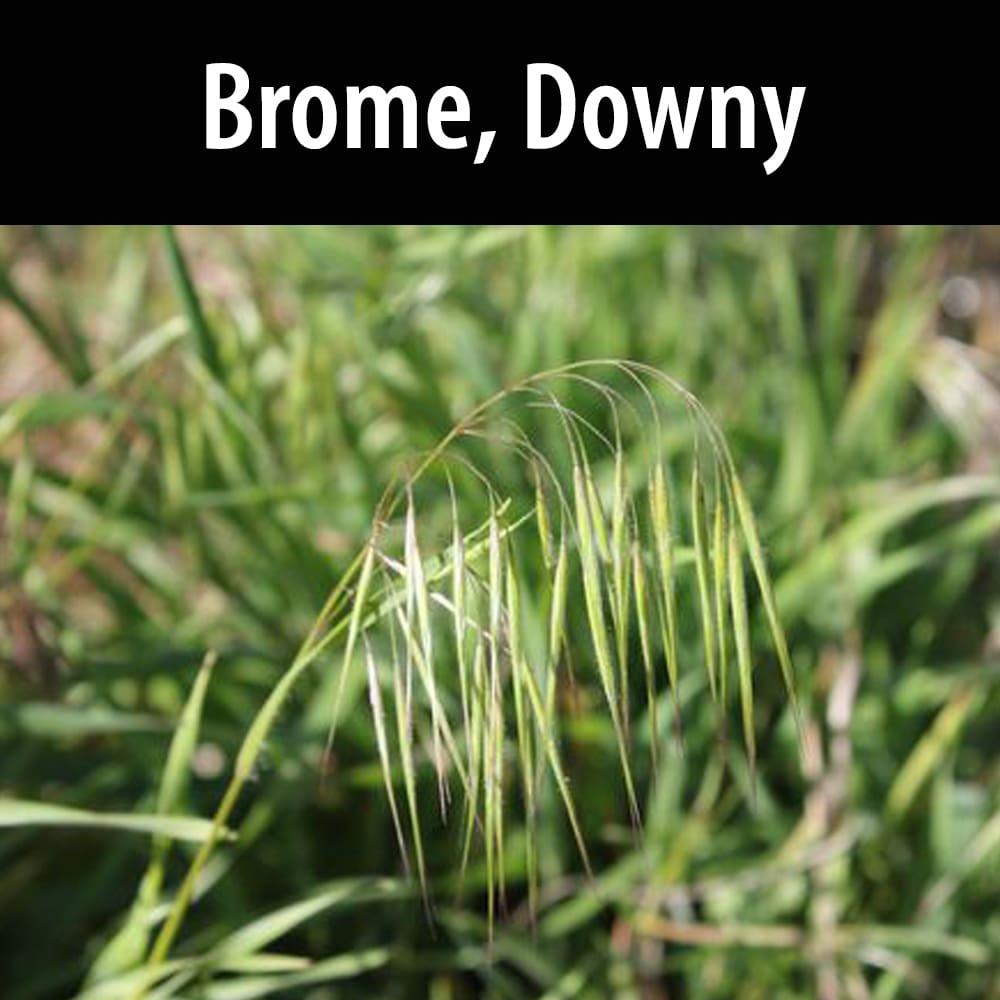 Brome, Downy