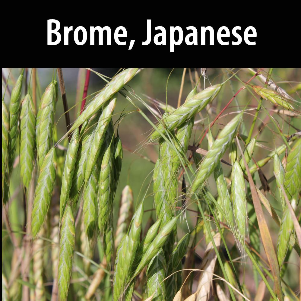 Brome, Japanese