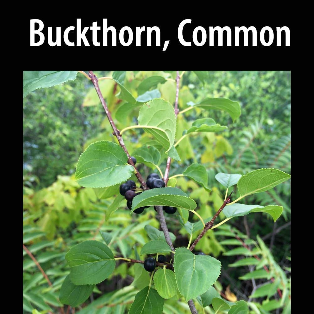 Buckthorn Common