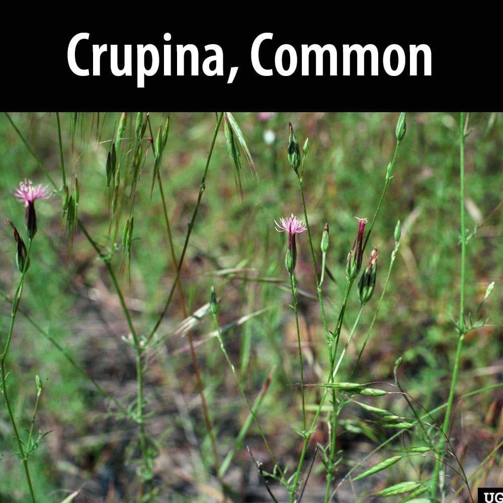 Crupina Common
