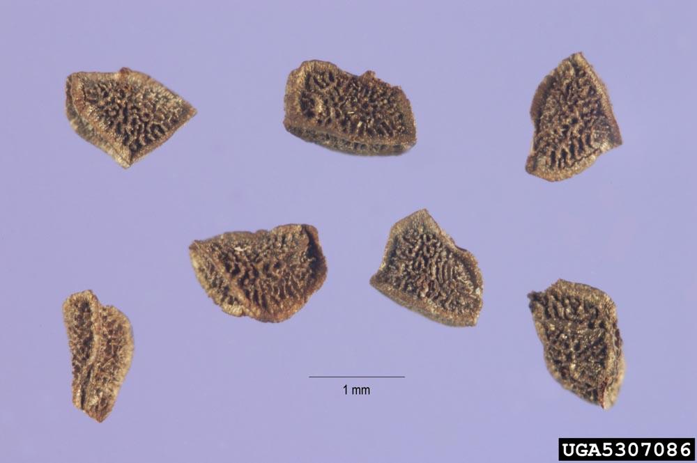 Dalmation ToadFlax Seeds Microscopic Steve Hurst, USDA NRCS PLANTS Database, Bugwood.org