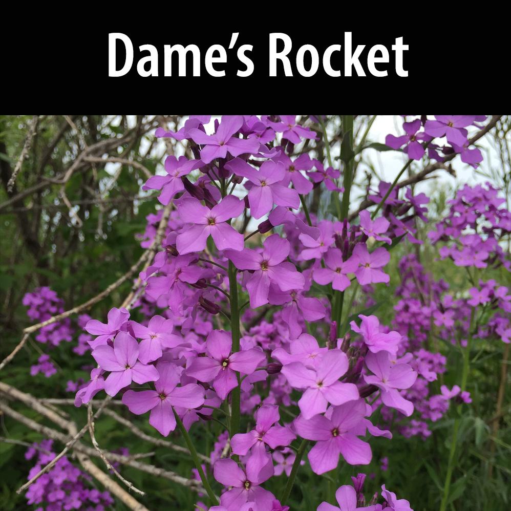 Dame's rocket