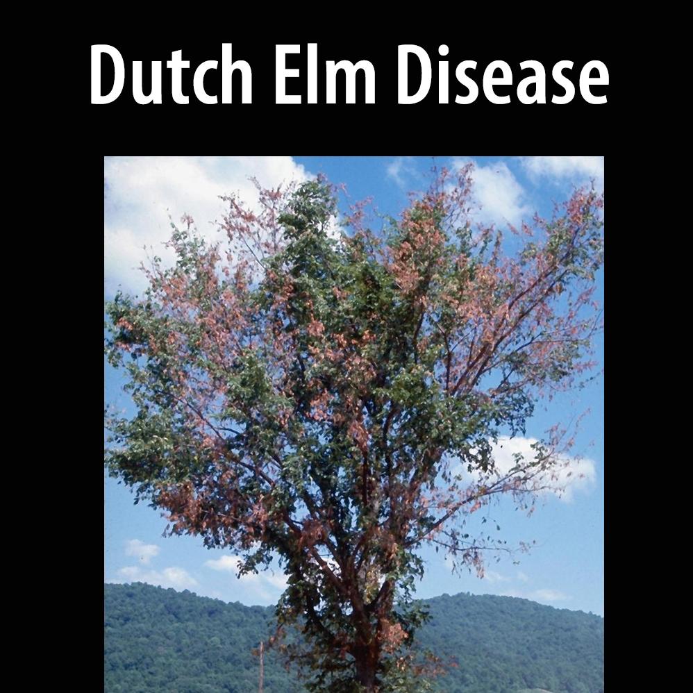 Dutch elm disease