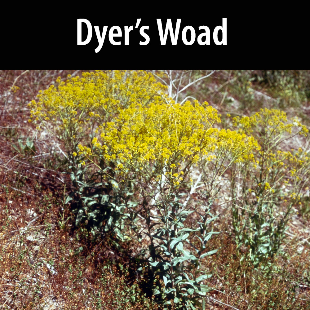 Dyers Woad