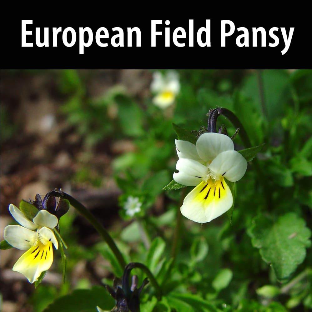 European field pansy