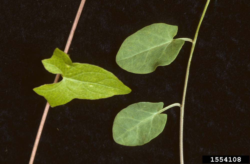 Field Bindweed Leaves 2 Ohio State Weed Lab , The Ohio State University, Bugwood.org
